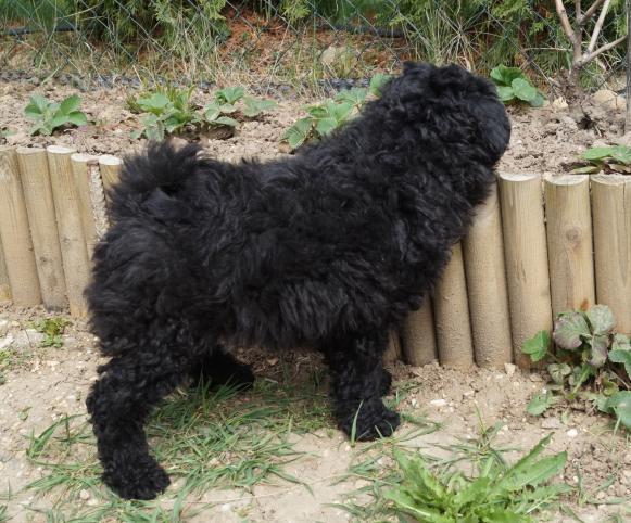 Ipolyréti Vidám Csárdás fekete (esetleg szürke) kan kölyök / black (maybe grey) male (3.)
